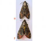 Acherontia styx (Thailand)