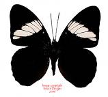 Adelpha epione (Peru)