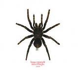 Pampobetheus antinous (Peru) - large tarantulas!