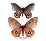 Automeris incarnata (Colombia)