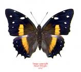 Baeotus deucalion (Peru)