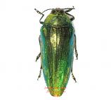 Callopistus castelnaudi (Malaysia)