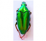 Chalcothea neglecta (Malaysia)