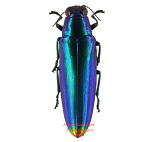Chrysochroa fulminans (Java) - blue