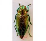 Chrysodema sp.1 (Buru)