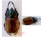 Eupatorus sukkiti (Myanmar)