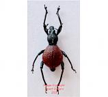 Macrocyrtus sp.1 (Philippines)