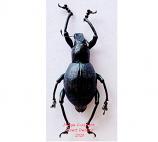 Macrocyrtus sp.3 (Philippines)