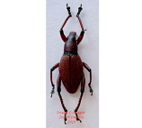Macrocyrtus sp.4 (Philippines)