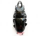 Odontolabis bellicosa (Java) - short horns A2