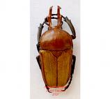 Platynocephalus arnaudi (Thailand)