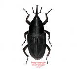 Rhynchophorus palmarum (Peru)
