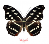 Catonephele nyctimus (Peru)