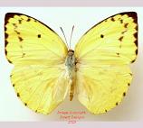 Catopsilia pomona (Sulawesi) A2