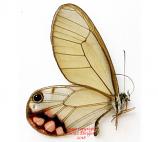 Cithaerias Esmerelda (Peru) A2