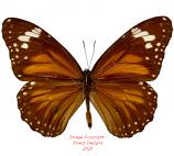Danaus affinis (Ceram)