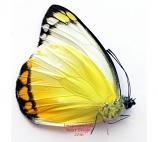 Delias ennia multicolor (Biak)