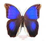 Eryphanis polyxena (Peru)