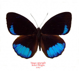 Eunica sophonisba (Peru)