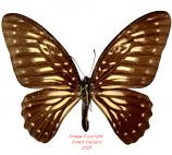 Graphium deucalion (Buton)