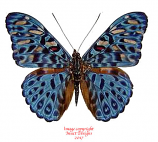 Hamadryas alicia (Peru) A2