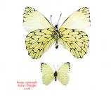 Hesperocharis erota (Peru)