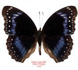 Hypolimnas alimena (PNG) A2