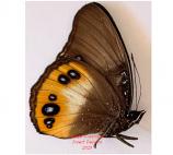Hypolimnas pandarus (Morotai)
