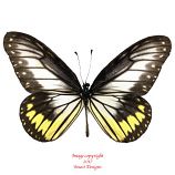 Ideopsis vitrea (Sulawesi) A-