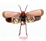 Kalidasa nigromaculata (Thailand) A2
