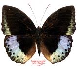 Lexias dirtea montana (Sumatra)