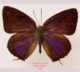 Lycaenidae sp. (Sulawesi)