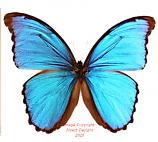 Morpho menelaus alexandrovna (Peru) A2
