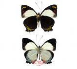 Mynes geoffroyi (PNG) A2
