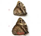 Opsiphanes bogotanus (Colombia)