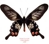 Pachliopta polyphontes (Sulawesi)