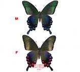 Papilio dehaani coreanus (Korea)