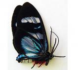 Pericopinae sp. 17 (Peru)