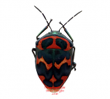 Poecilocoris splendidulus (Korea) A2