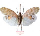 Pyrops oculata (Malaysia)