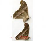 Samia sp. (Malaysia) - pair
