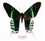 Urania leilus (Peru) A-
