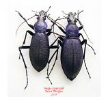 Coptolabrus jankowskii taebeagenesis - violet (Korea)