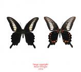Papilio oenomaus (Timor) A1-