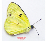 Colotis amata crowleyi (Madagascar) A-