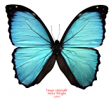 Morpho menelaus (Peru) A-