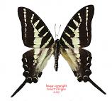Graphium aristeus aristeus (Indonesian Islands) A-