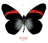 Pereute callinica (Peru) A-