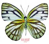 Cepora narissa dapha (Thailand) A1-