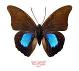 Prepona chromus (Peru)